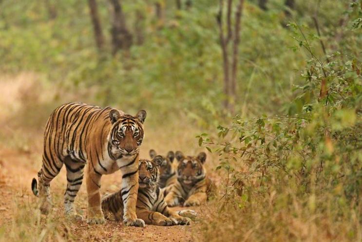 RANTHAMBHORE – A Tiger's Paradise